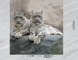 Фотообои бумажные 6л 134*261  Рыси А125, Россия Тула